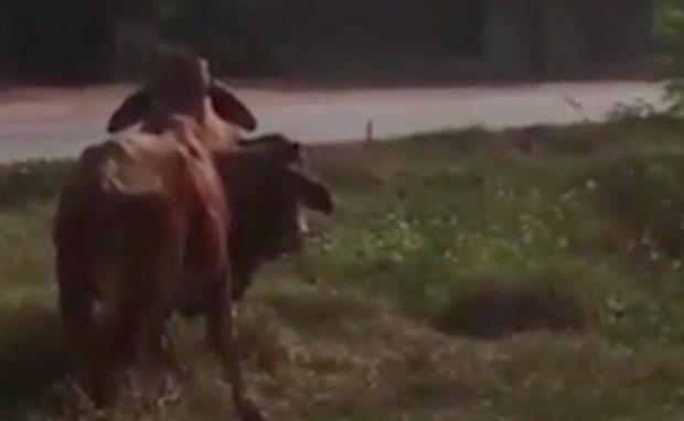 la-vaca1